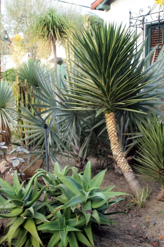 Yuccas, ponytail palms and Bismarckia nobilis palm
