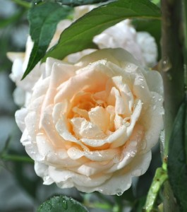 Rosa 'Jean Geldenhuys' is a tough rose, with petals that do not fall, which means the blooms stay on the plants until the rich cream bleaches to white with pink tinges around the edges of the petals. The plant is disease-resistant and extremely vigorous