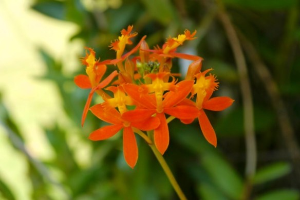 The holy cross orchid, Epidendrum radicans, which is commonly grown in Kerala