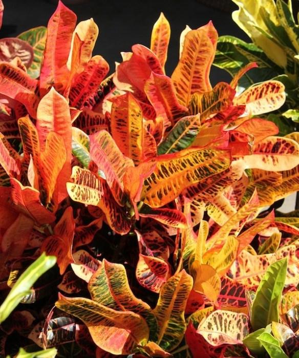 Codiaeum variegatum 'Angel Wings'