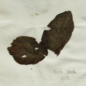 Kew Herbarium Phytophthora infestans specimen 1847