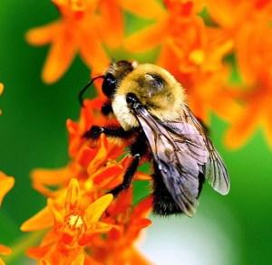 Bumblebee (Bombax sp) in Ohio on milkweed