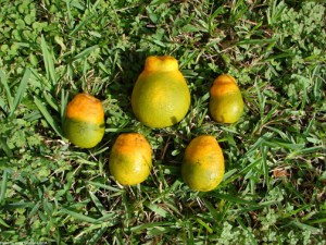 Citrus greening USDA