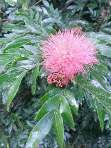 Raindrops on my pink calliandra
