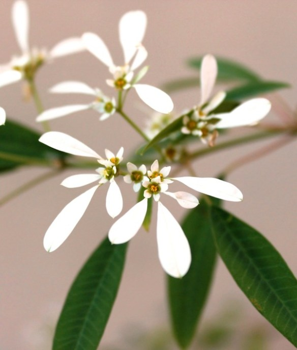 Snowflake bush has delicate looking white flowers