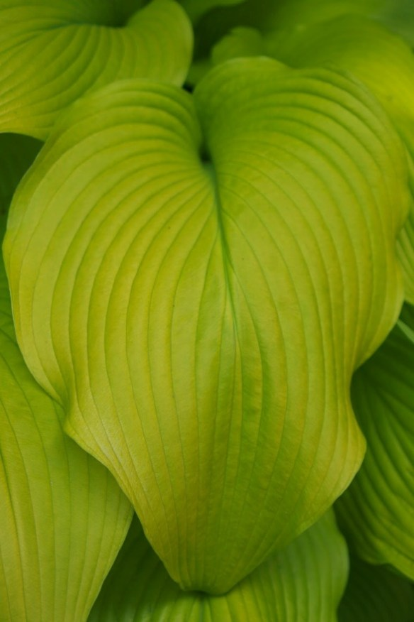 """Sun Power"" Hosta adds great contrast color in a sunny spot ©2013 BDG"