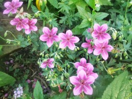 Starman geranium