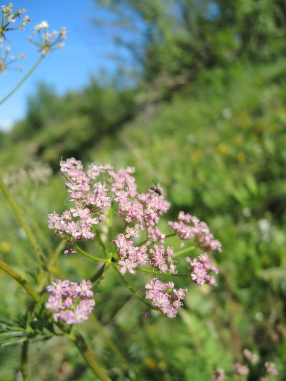 Pimpinella major