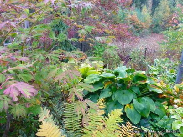 Laceleaf Japanese maple with yellowed fern, blue hosta, pin oak scarlet and green leaves
