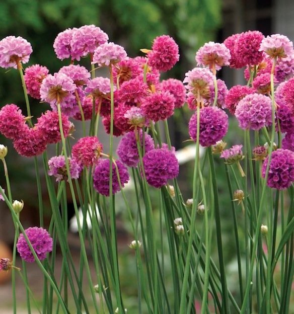 Armeria Bees Collection