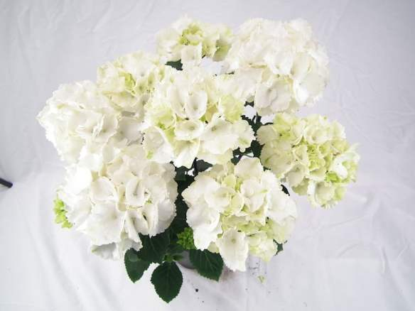 Hydrangea Obsidian Collection White Knight