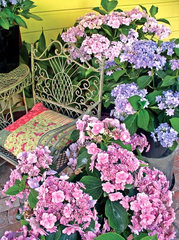 Hydrangea-YouMe-in-pots Old Fashioned Garden Design on classic garden design, cold garden design, vintage garden design, good garden design, organic garden design, religious garden design, white garden design, primitive garden design, elegant garden design, unique garden design, old world garden design, food garden design, clean garden design, small garden design, gothic garden design, narrow garden design, summer garden design, natural garden design, cheap garden design, romantic garden design,