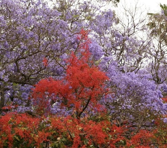 Illawarra-flame-tree-with-jacaranda-Sydney1