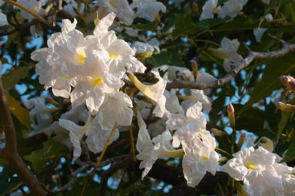 Tabebuia rosea-alba in Darwin Botanic Gardens