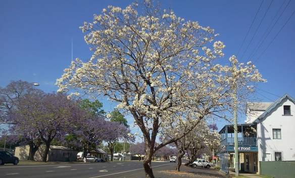 White jacaranda in Grafton Photo Louise McDaid