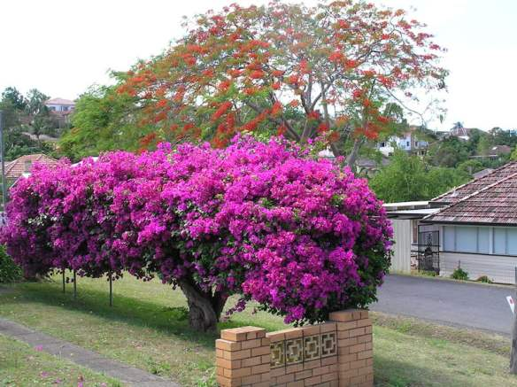 Bougainvillea grown as a hedge