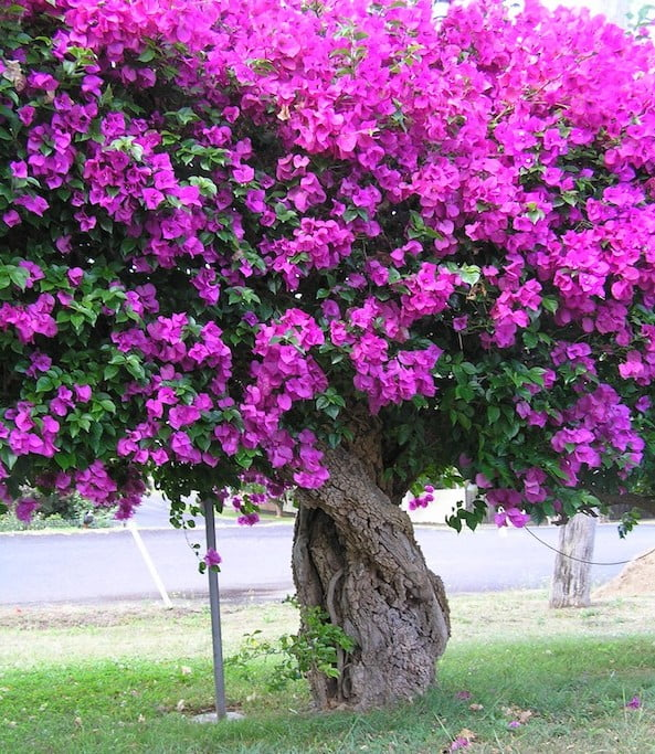 Charming Bougainvillea Trellis Ideas Part - 13: Gnarled Old Bougainvillea