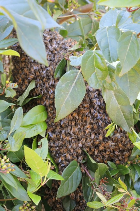 The swarm arrives in my garden