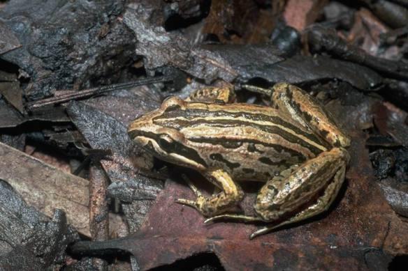 Striped brown marsh frog or Peron's marsh frog, Limnodynastes peronii Photo Jean-Marc Hero