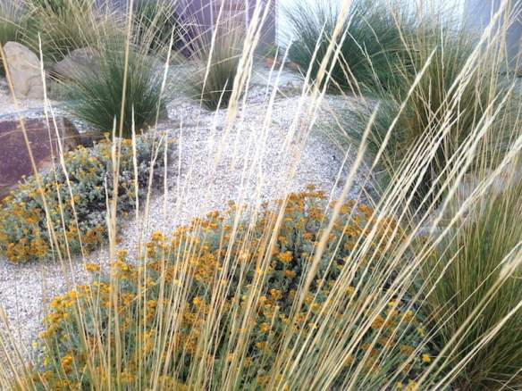 Plant textures and subtle colour from Chrysocephalum Beach garden, Torquay. Design Phillip Withers