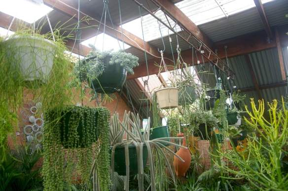 Many Rhipsalis are on display at Newtown Garden Market in Sydney