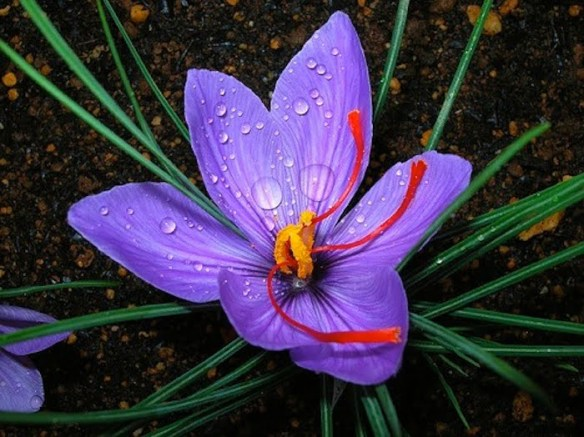 Crocus sativus produces on of the world's most costly spice - saffron