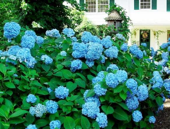 Bright blue hydrangeas are a sign of acidic soil