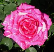 Rosa 'Candy Stripe' from Green E Roses