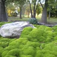 Scleranthus biflorus, a great native ground cover from Wallis Creek Watergarden