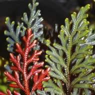 Selaginella erythropus from Wildwood Flora
