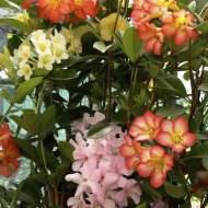 Vireya Rhododendrons from Vanderbyl Vireya Nursery