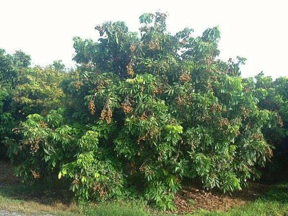 Longan tree. Photo by Pouletic