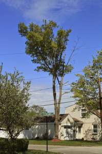 """This is what the second tree looked like last year before being removed this week.  """"Dead Tree Standing"""" ©2014BDG"""