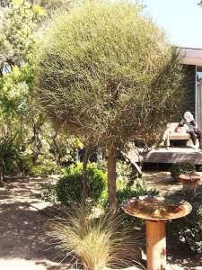 Topiary casuarina. Design Fiona Boxall