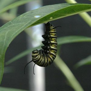 Monarch caterpillar beginning pupation