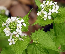 Garlic mustard. Photo lcm1863