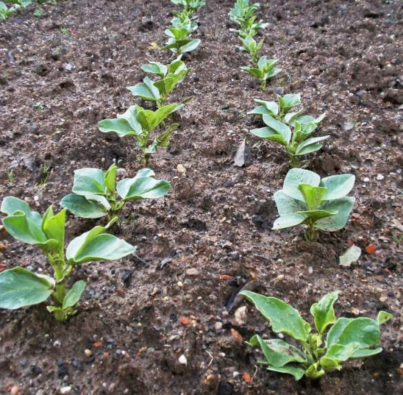 Young broad beans. Photo amandabhslater