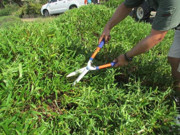 Give vines grown as groundcovers a regular prune