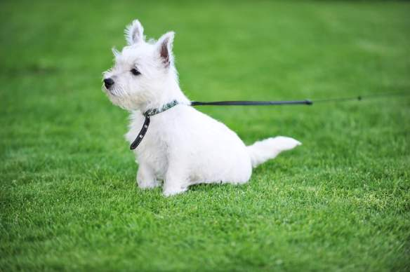 Puppies on lawn1