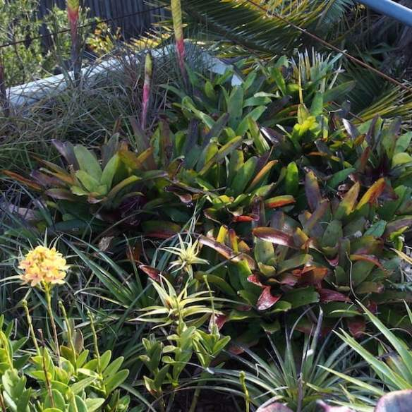 Colourful bromeliads mixing with Tillandsia