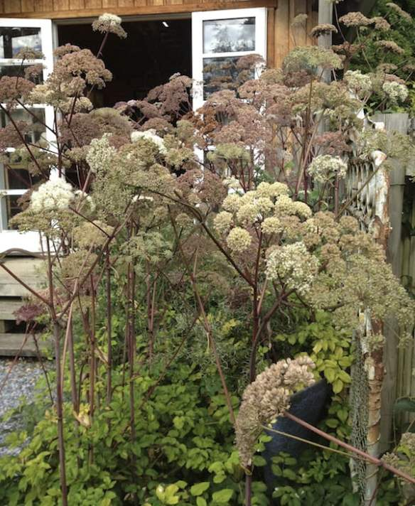 Angelica sylvestris 'Purpurea' at Wychwood