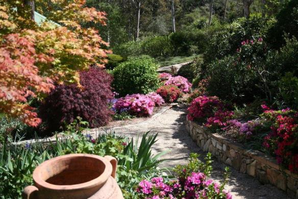Azaleas and maple in Carmel and John Niland's garden Mt Victoria, NSW