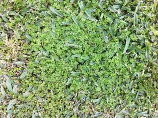 My weed infested lawn - oxalis ready to flower