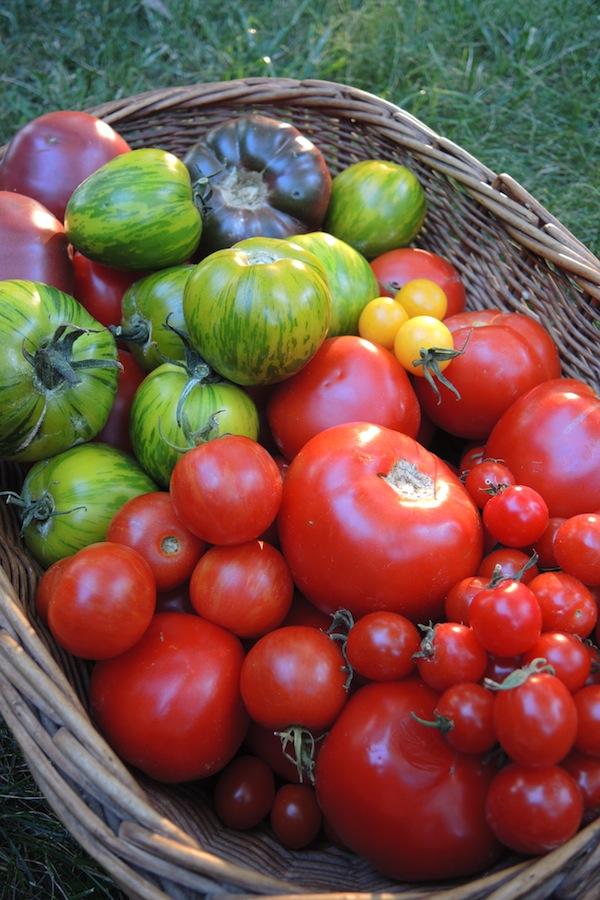 16 Part of my 70kg tomato harvest