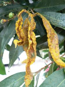 Myrtle rust on Syzygium jambos (Rose apple) (Photo by R. Makinson)