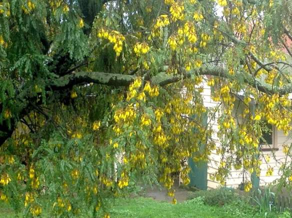 New Zealand Kowhai in full bloom