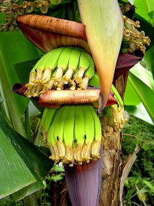 Cavendish banana showing the developing fruit. Photo by *Spatz* (Creative Commons Licence 3.0)