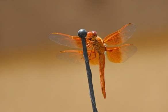 dragonfly-flame skimmer