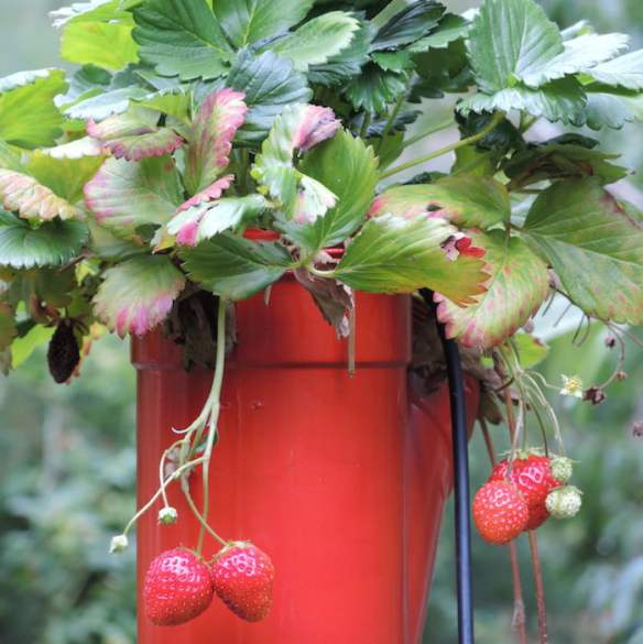 There's nothing like home-grown strawberries