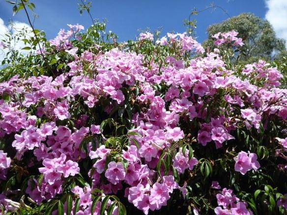 Pandorea jasminoides in full flower